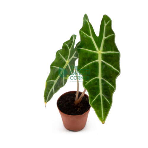 Alocasia Amazonica Pot 80mm Top Watermarked
