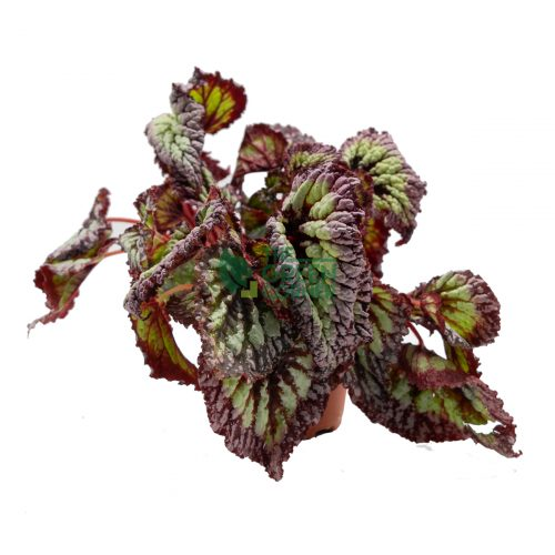 Begonia Fireworks Front 120mm Pot Watermarked