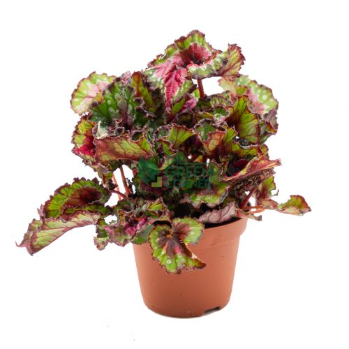 Begonia Magic Colours Macare Front 120mm Pot Watermarked
