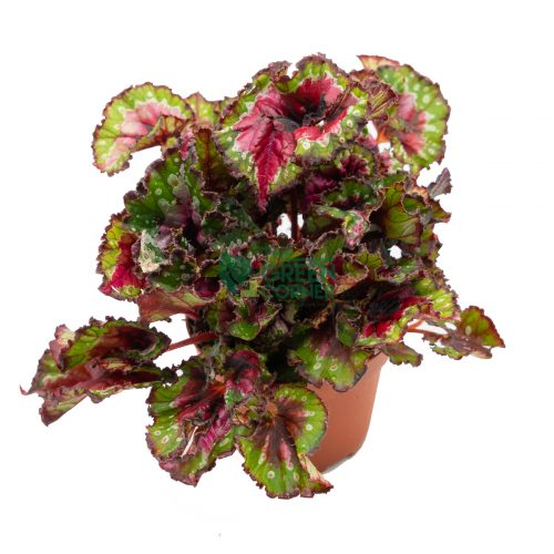 Begonia Magic Colours Macare Top 120mm Pot Watermarked